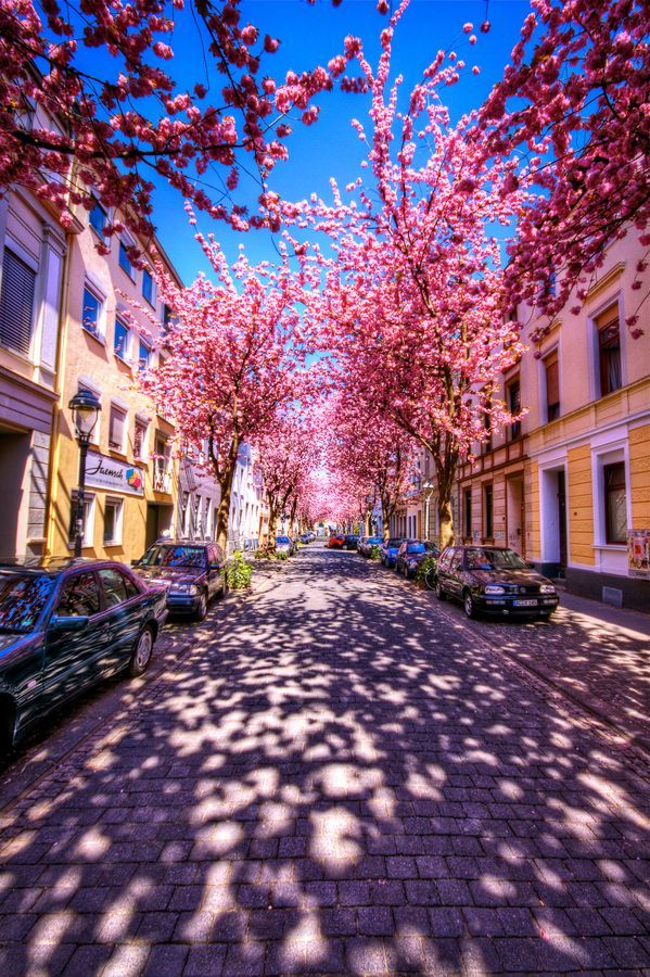 SEASONAL – SPRING – a time for blossoms and colorful flowers to make an appearance, the cycle of renewal and rebirth among nature continues like the cherry blossoms in bonn, germany, photo via stardust.