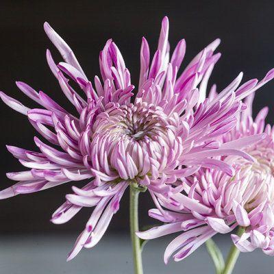 Chrysanthemum Elegant Symbolic Flowers For Autumn Bouquets Sunset Chrysanthemum Fall Bouquets Plants