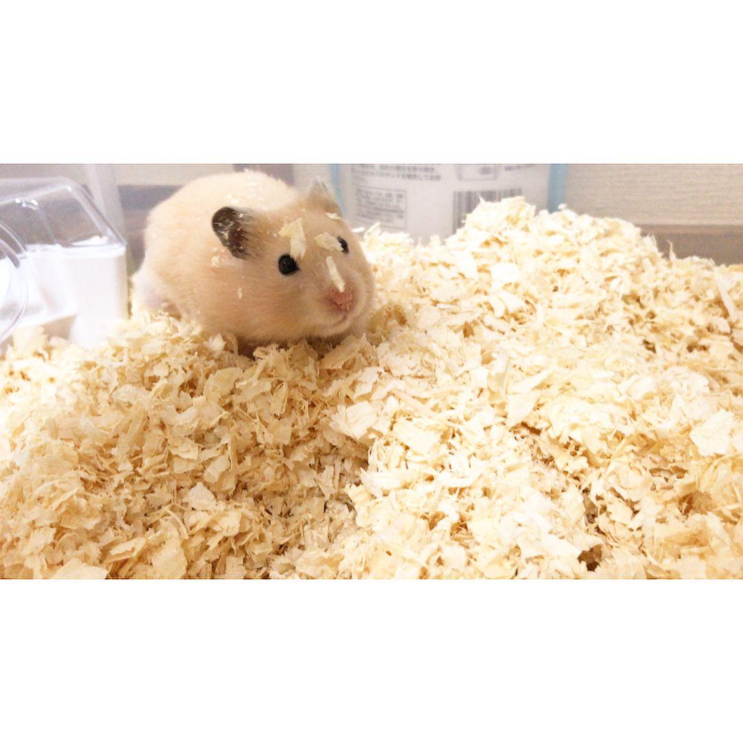 きょうのきなこ 動物病院に行きました 診察の結果 命に関わる ことはないとのことでした ただじじハムなので 抜け毛が進行する可能性は あるそうです おハゲになっても きなこはきなこ 変わらず愛し続けます Hamster Instagram Posts