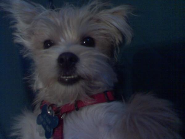 Morkie Love Junior Morkie Yorkie Puppy Puppies