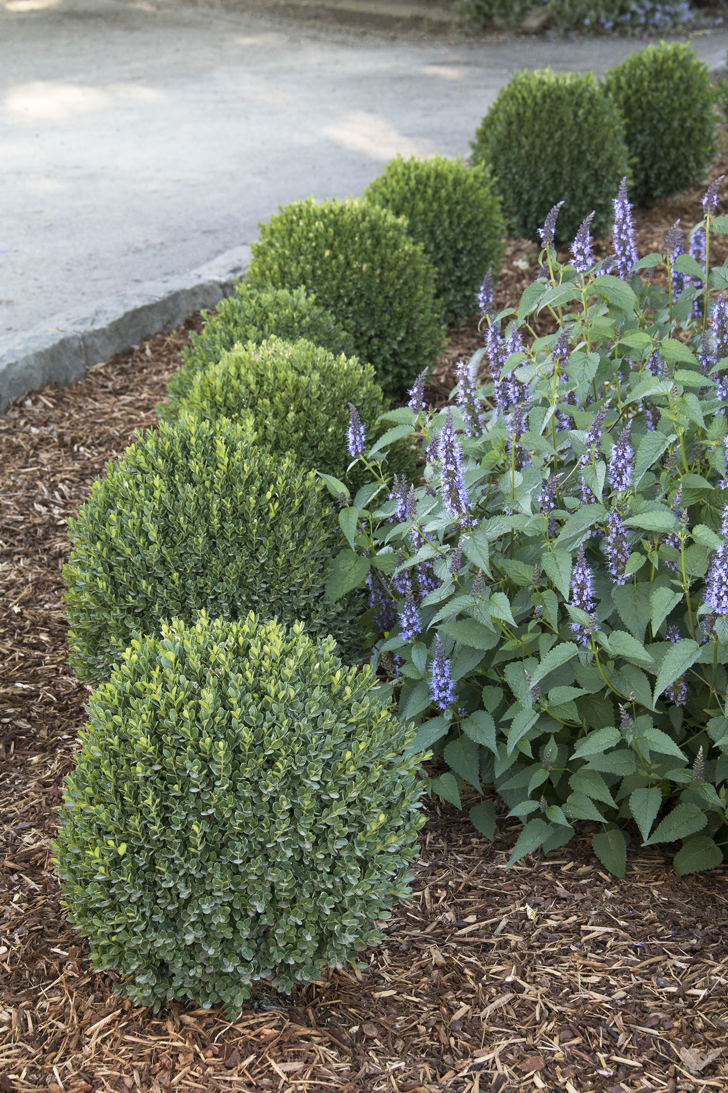 Petite Pillar Dwarf Boxwood Small boxwood good for beds or