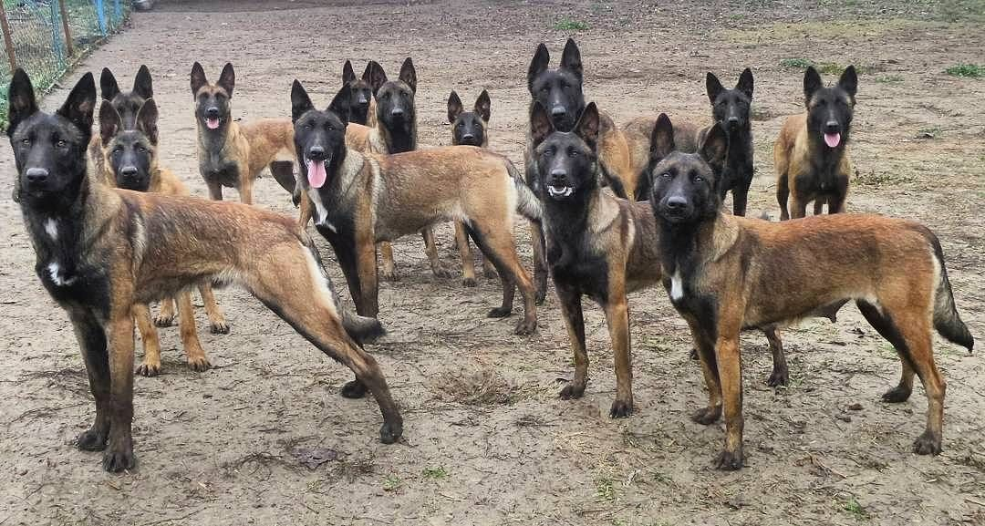 5 938 Likes 56 Comments Malinois World Malinoisworld On Instagram Missed The Black Friday Don T Worry Cybe Malinois Malinois Puppies Belgium Malinois