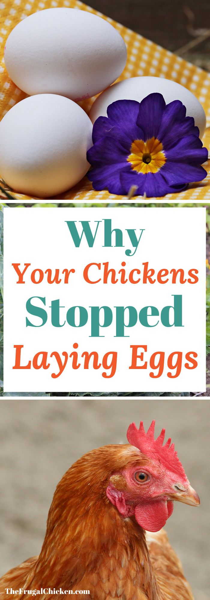 Why Your Chickens Stopped Laying Eggs: 10+ Troubleshooting ...