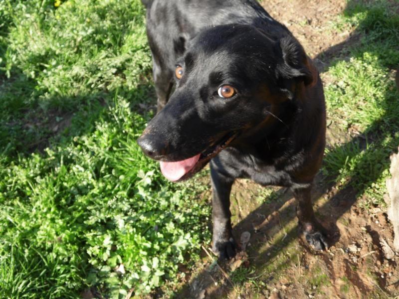 Adopt Precious on Pet adoption, Labrador retriever dog