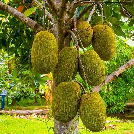 Jackfruit Tree Jackfruit Tree Jackfruit Fast Growing Trees