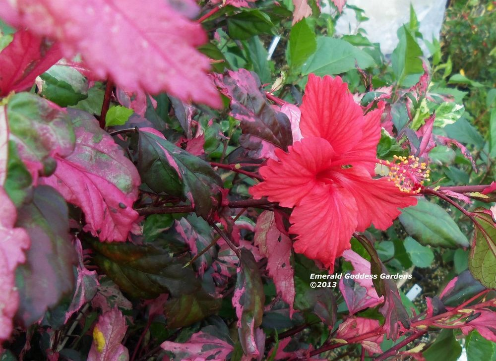 Rose Queen Hibiscus Plant Unusual Tri Colored Varigated Leaves Red Flowers Hibiscus Plant Red Flowers Hibiscus