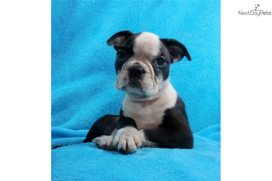 Boston terrier puppy for sale near knoxville tennessee