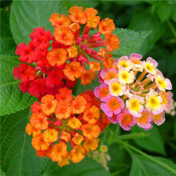 New Arrival Lantana Camara Flower Seeds Tropical Heavy Blooming Plant 30 Seeds Jpg 600 600 Flower Seeds Lantana Flowers