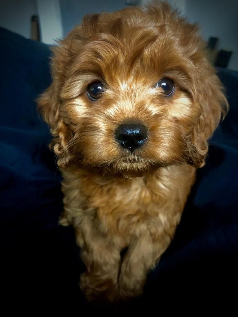 Merlot The Cavoodle From Manchester United Kingdom Cavapoo World In 2020 Cavapoo Dog Hotel Manchester
