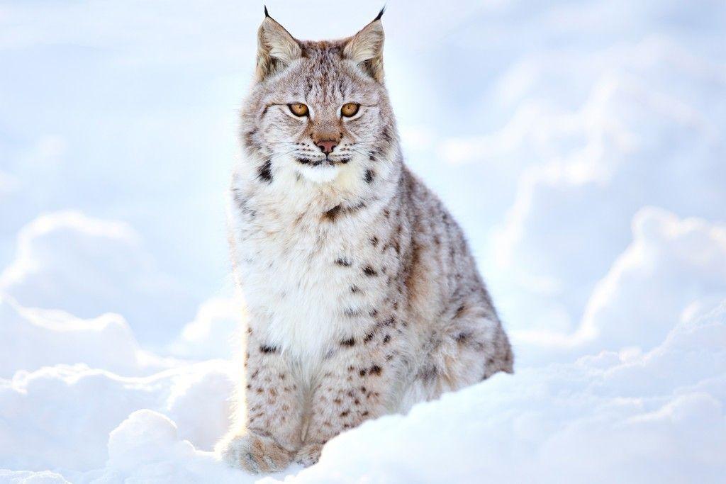 White Lynx Cat Wild Wallpaper Snow Animals Lynx Animals