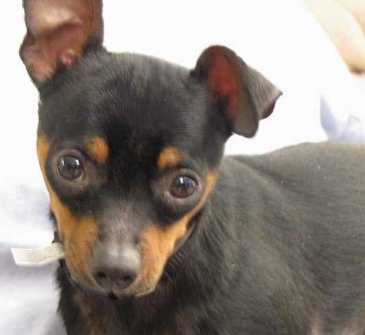 min pin chihuahua mix puppies for sale chipin dogs a mix between miniature pinscher and 8660