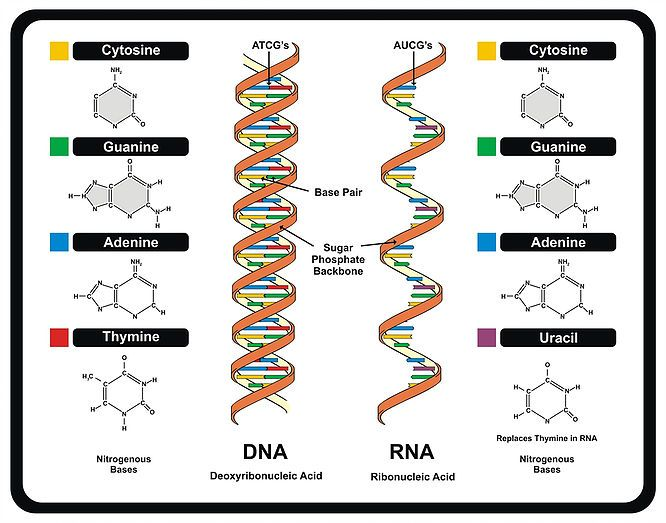 Ever since deoxyribonucleic acid (DNA) was first discovered by Friedrich (Fritz) Miescherit DNA has been extensively researched....