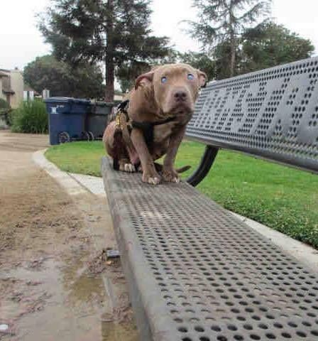 Blind Pit Bull Abandoned On Bench Learns How Love Feels