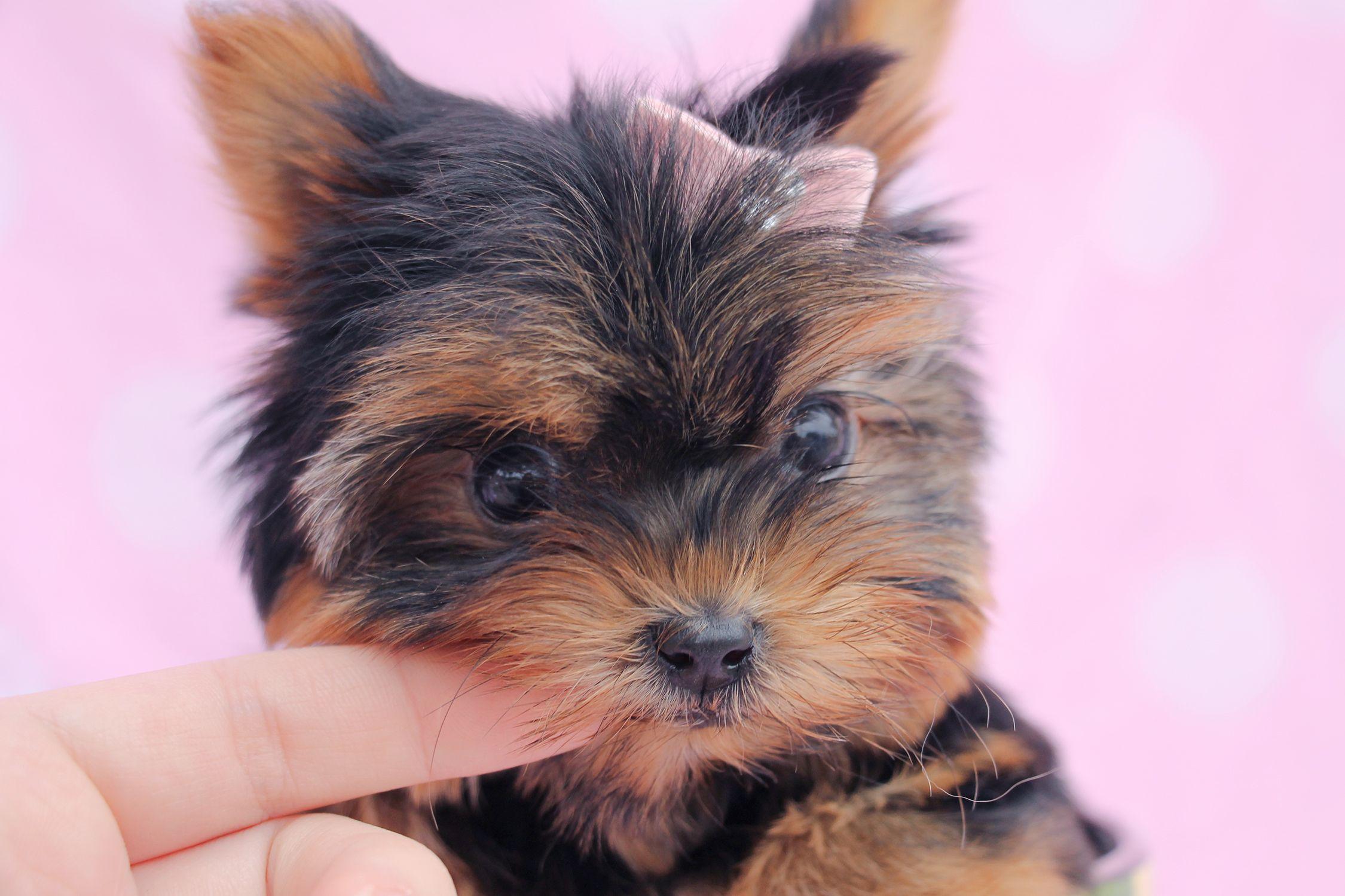 mini corgi puppies for sale florida