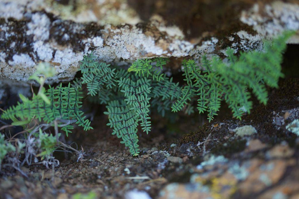 Pellaea Mucronata Variegated Plants Foliage Plants Ferns