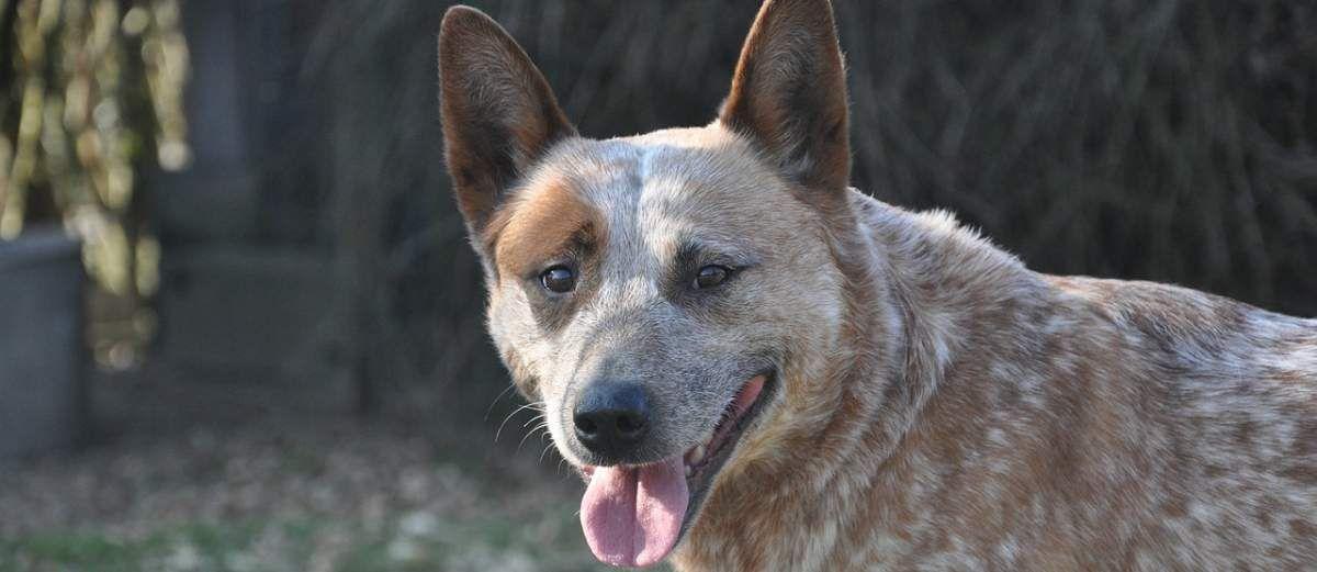 Rasbeschrijving van de Australian Cattle Dog