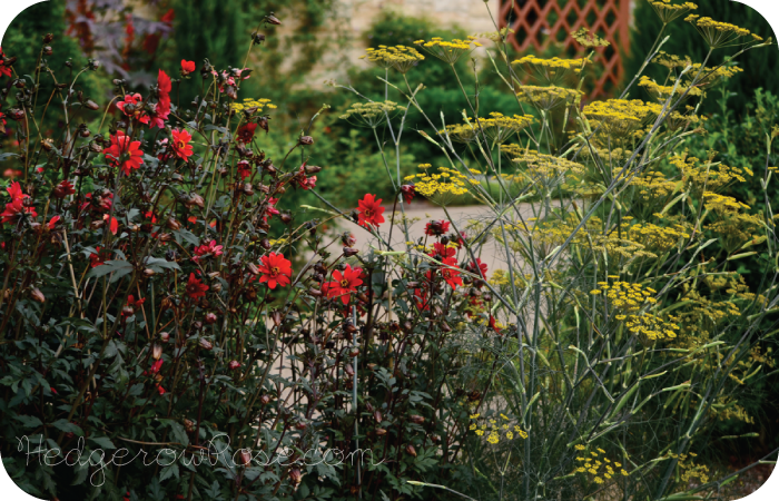 Companion Plants Dahlia And Fennel Planting Dahlias Perennials