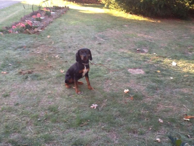 Adopt paisley on cocker spaniel mix dog adoption adoption
