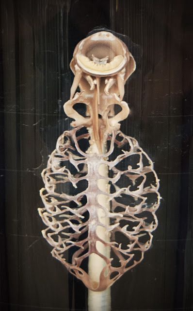 Lamprey Skeleton With The Huge Branchial Basket Check Out Their