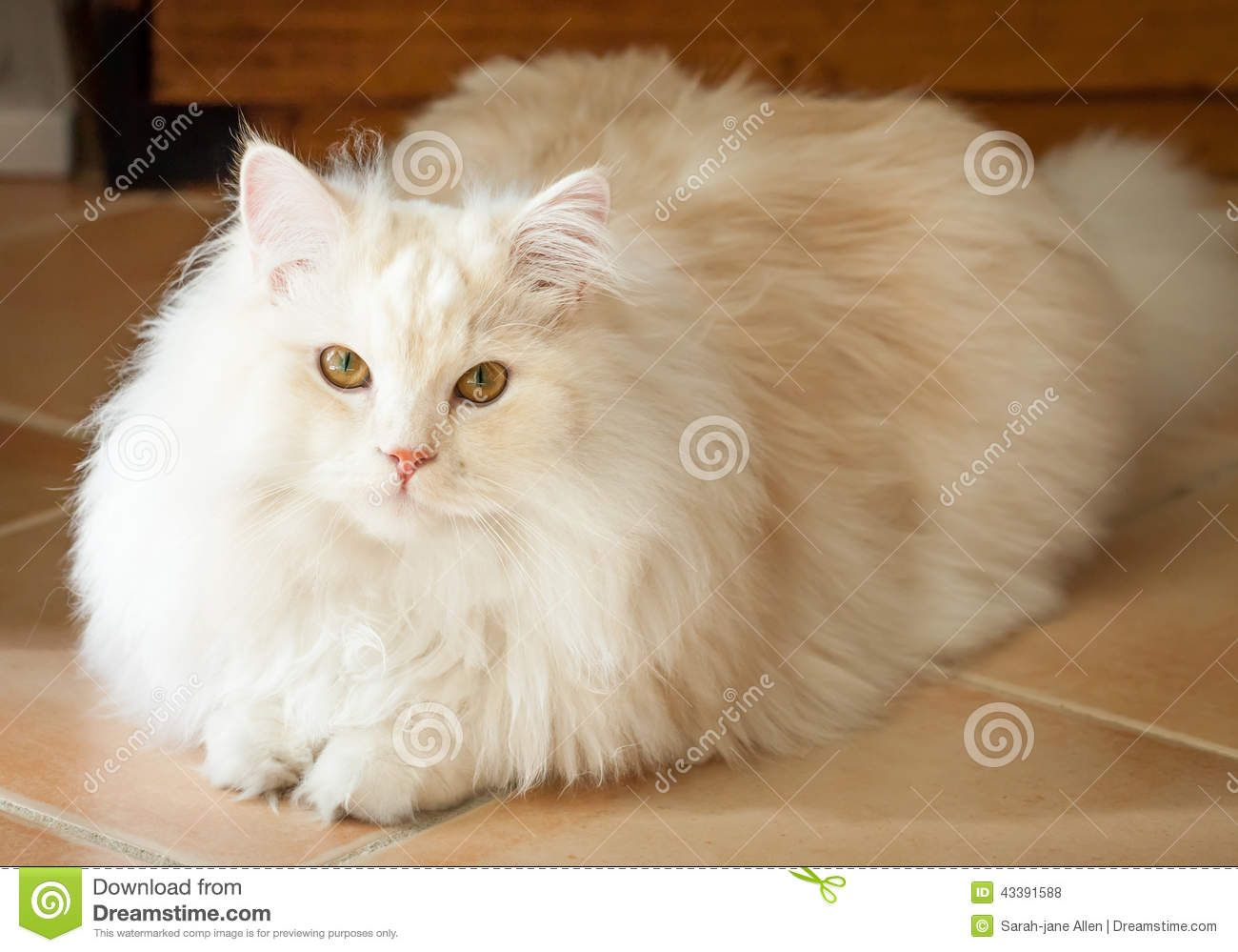 Maine Coon Kittens For Sale Miami Florida