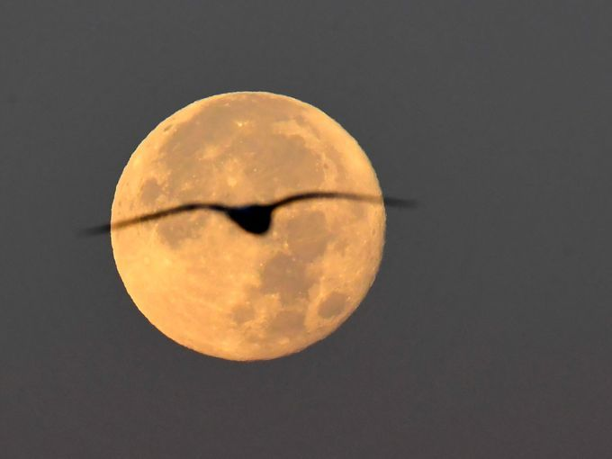 A seagull flies as the moon sets in Rome.