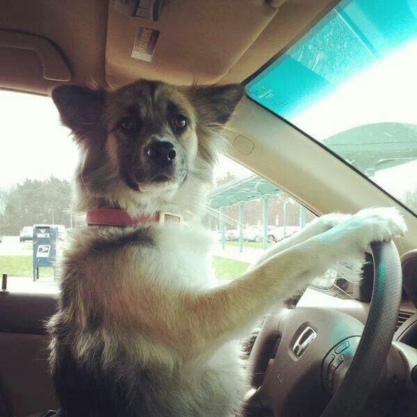 Honey, a Norwegian Elkhound, takes her road test.