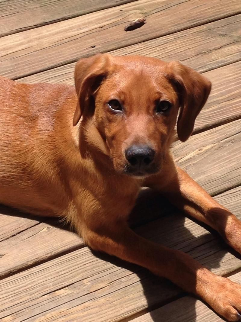 Tiffany Is An Adoptable Labrador Retriever Searching For A Forever Family Near Apex Nc Use Petfinder To Find Adopta Labrador Retriever Dog Training Coonhound