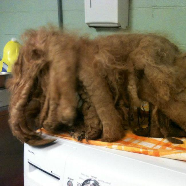 Ginger A 4 Pound 14 Year Old Poodle Arrived At An Animal