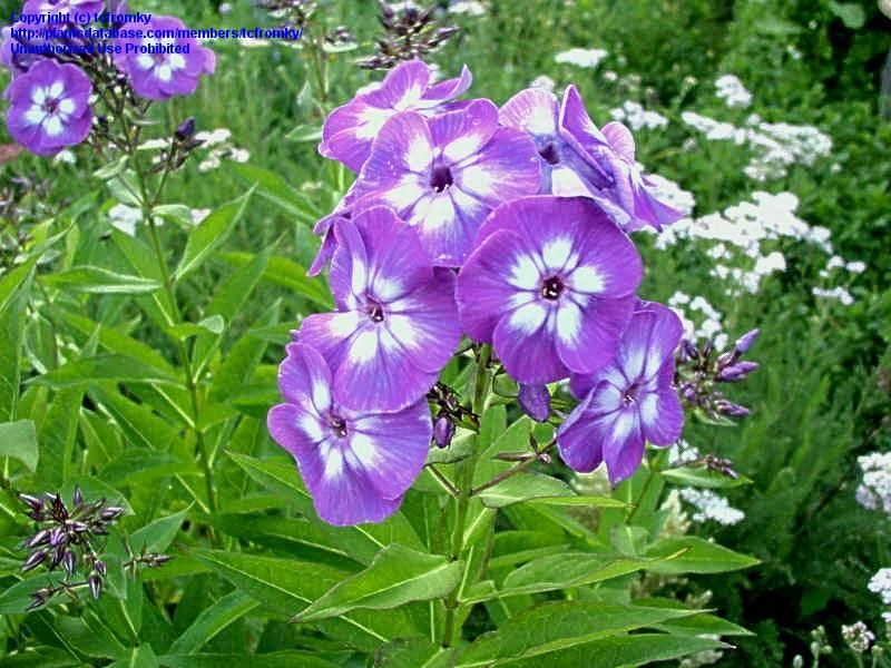 Wondering How This One Holds Up To Powdery Mildew Garden Phlox