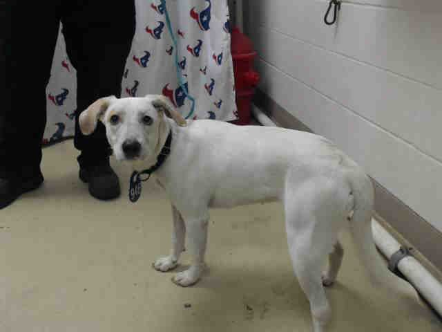 This Dog Id A468948 Urgent Harris County Animal Shelter In Houston Texas Adopt Or Foster 2 Year Old Female Labrador Retri Animal Shelter Animals Adoption