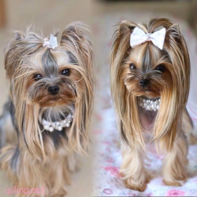 Beautiful And Cute York Terrier Dog: Beautiful Yorkie #yorkshireterrier