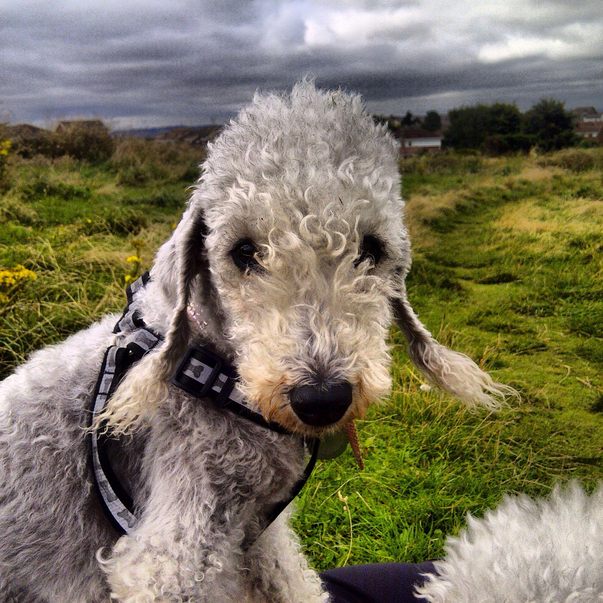 Bedlington Terrier Puppies Dogs Animal Puppy Dog