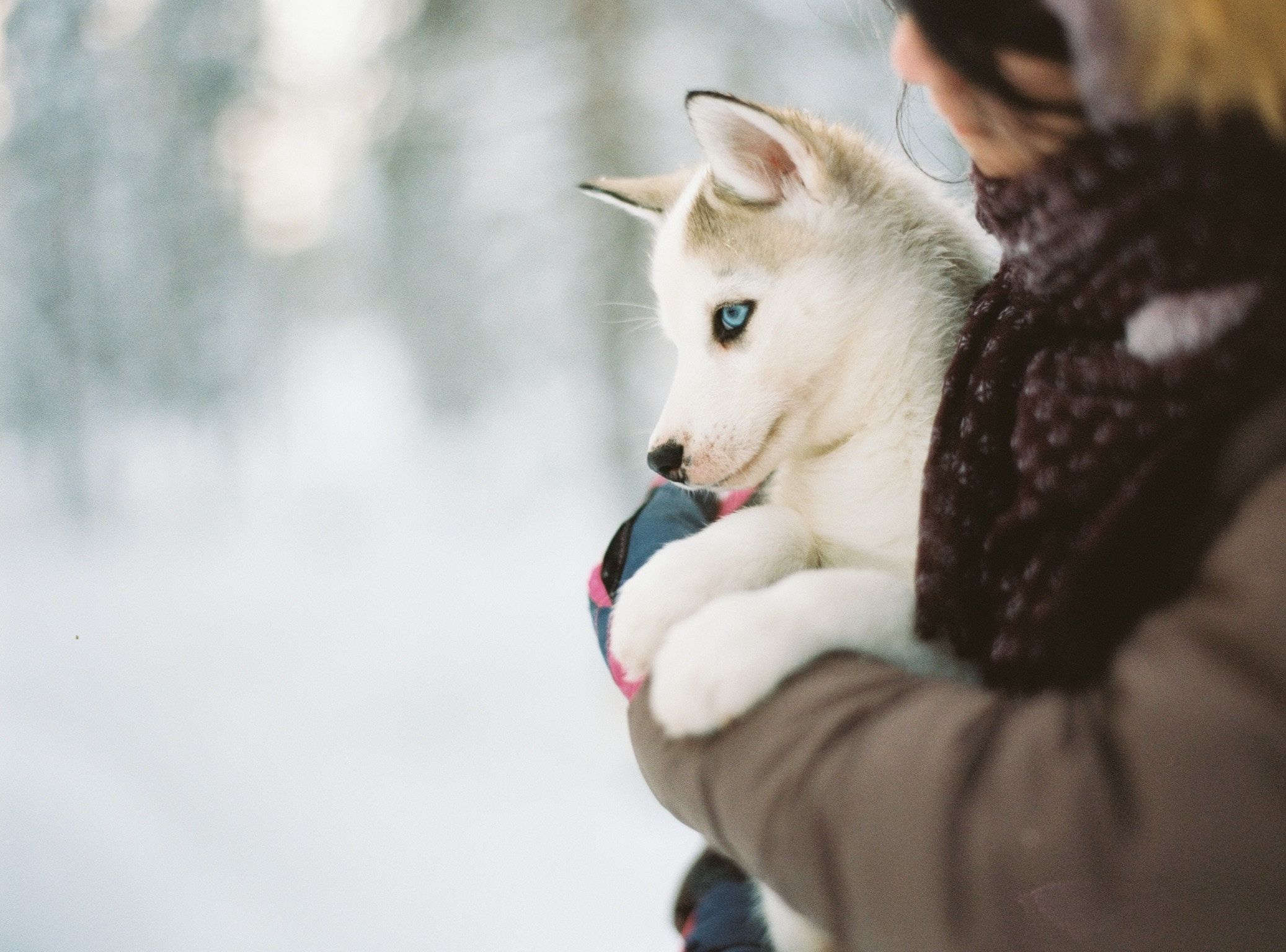 Siberian Huskies Are Super Friendly And A Great Dog To Have In The