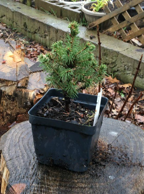 Dwarf Alberta Spruce is a hot seller! Doesn't look like much sitting on that tree stump does it? Believe it or not, small Dwarf Alberta Spruce that size are in high demand on the wholesale m…