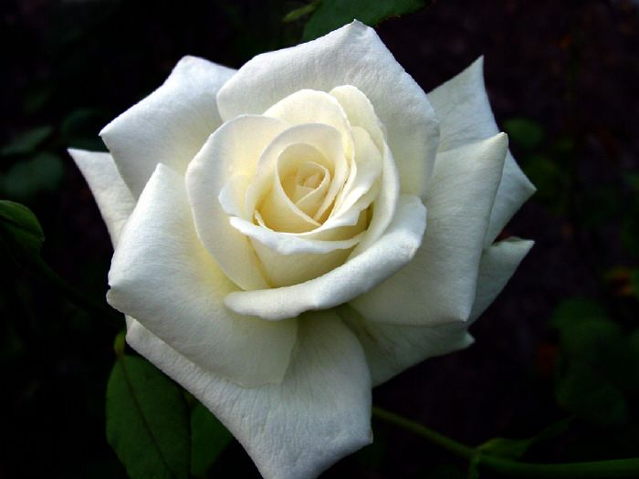 white roses | your soul is bound to the white rose the pure | Too ...