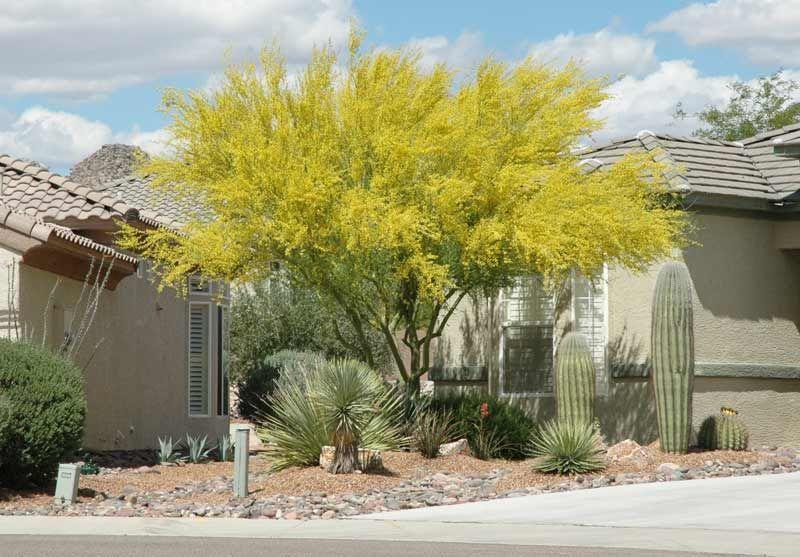 Landscape Architect's Choic: 2 palos verdes trees