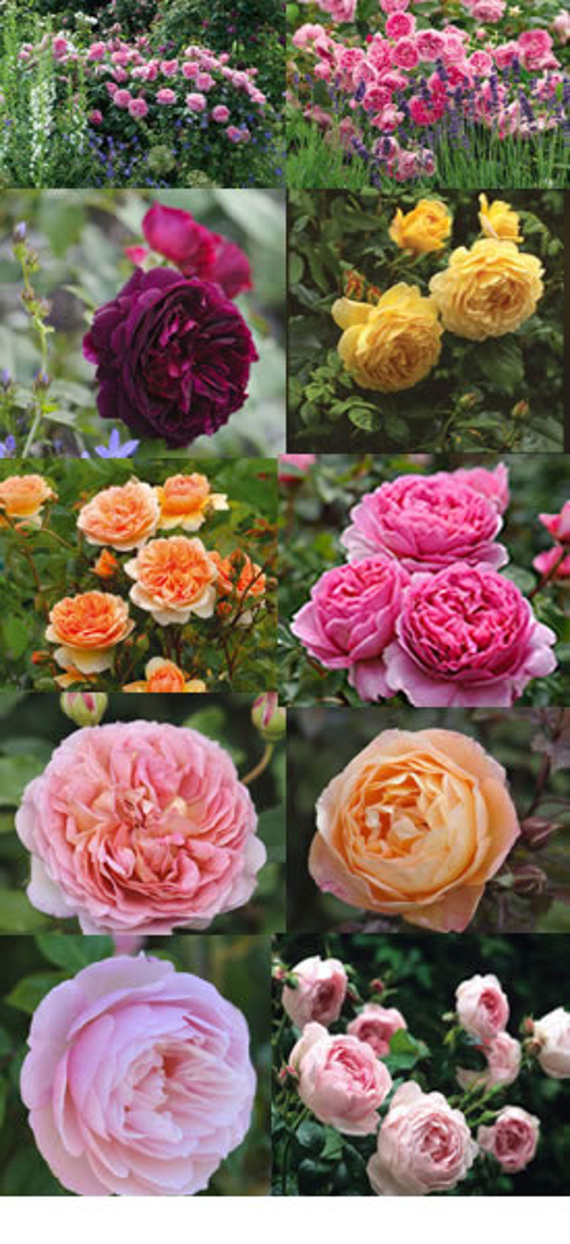 de engelske rosene