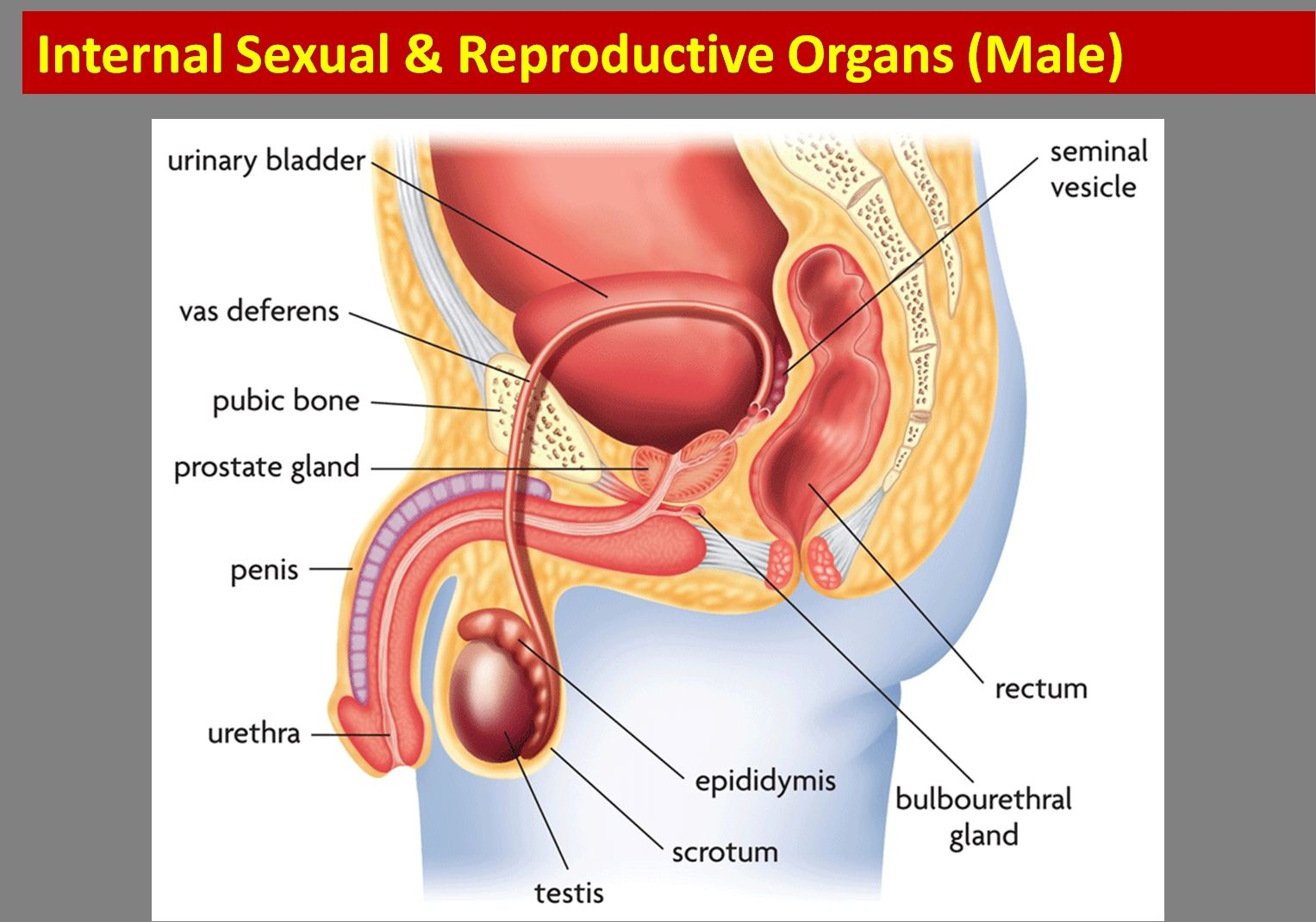 Human Female Reproductive System Diagram Human Anatomy Drawing