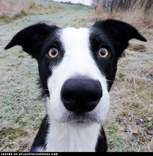 Cute Border Collie With Mustache Dogs Collie Animal Companions