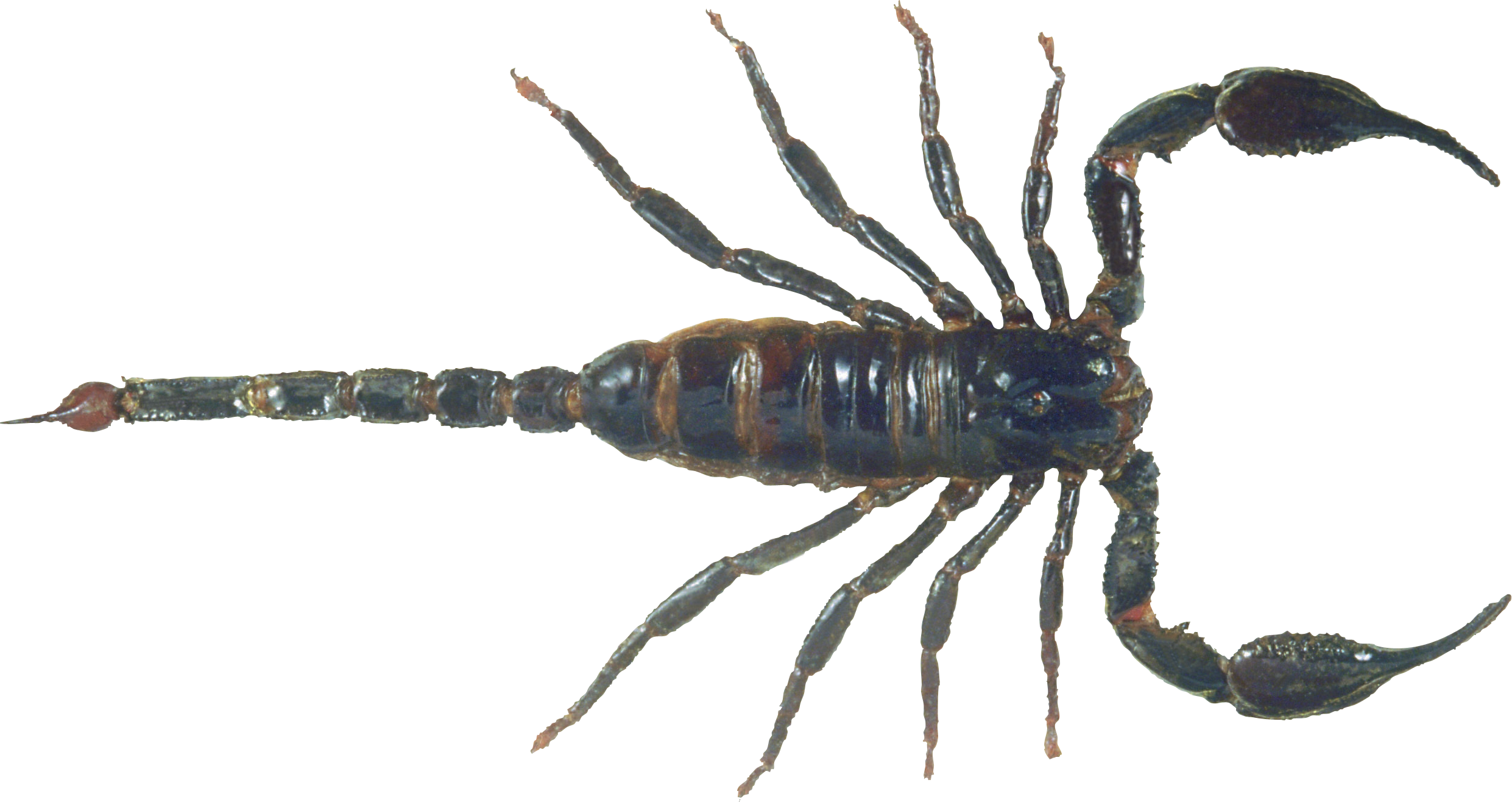 Scorpion Png Image Scorpion Animals Scorpio Zodiac