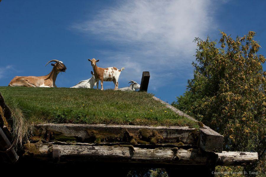 Goats on the roof of Al Johnson's Swedish Restaurant