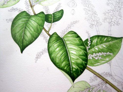 Japanese Knotweed Sketchbook Study Botanical Painting Painted