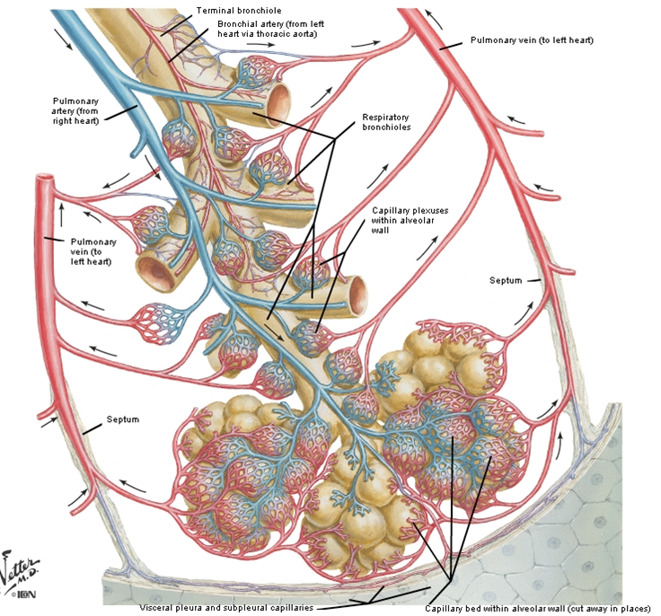 Segmental Bronchi picture | ANATOMY BASIC | Pinterest
