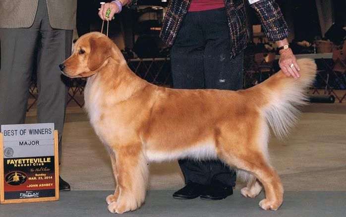 Ch Sandpiper S Song Of Freedom Rn 7 4 2011 Golden Retriever