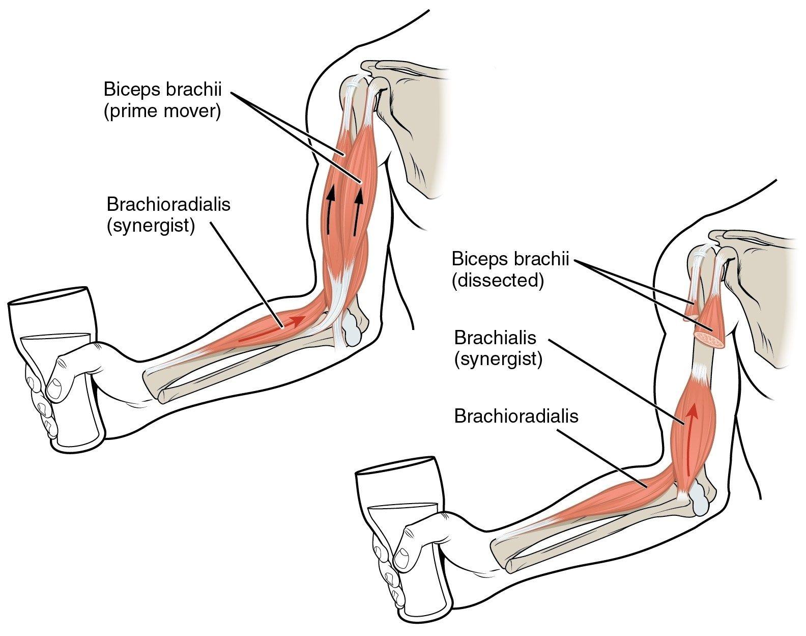 Arm Bone Diagram Arm Bone Diagram Bones In The Arm