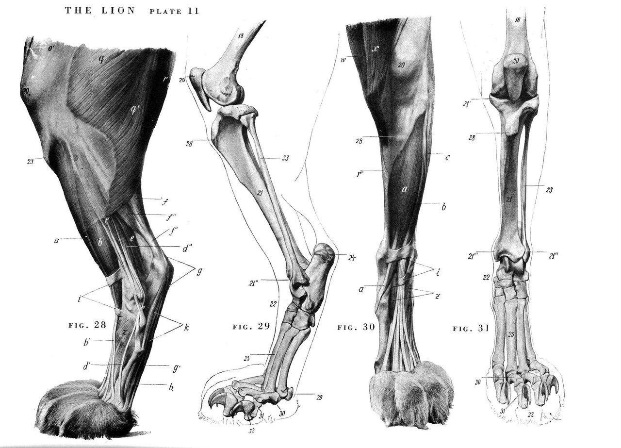Horse Anatomy By Herman Dittrich Hind Legs: NeTItyo7efo.jpg (1280×923)