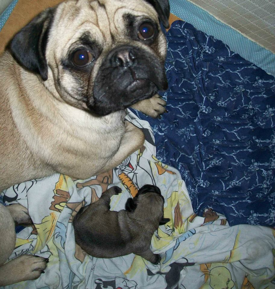 Calvin with his babies Pugs, Animals, Dogs