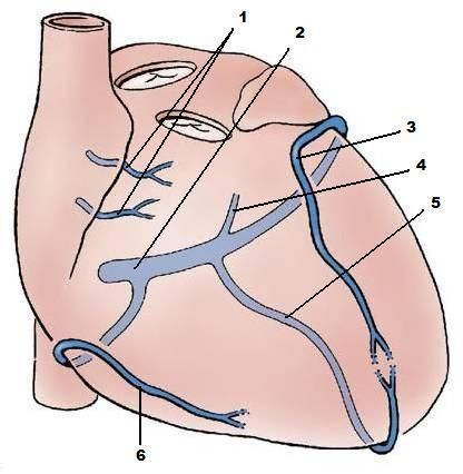 Heart Vascular Anatomy Coloring Google Search Cath Lab