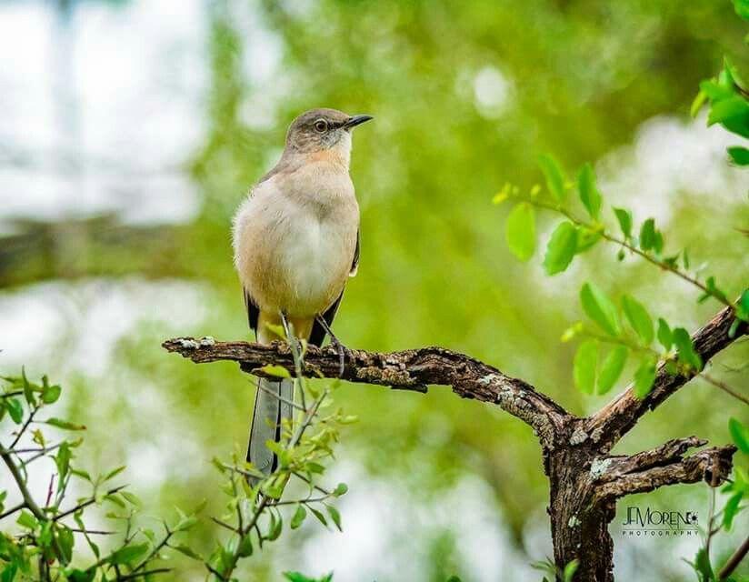 texas state bird mockingbird texas pinterest texas
