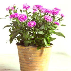 Flowering Plants Plants Planting Flowers Aster Flower